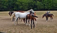 Pferde auf der Weide (mama knipst!) Tags: pferd horse cheval cavallo tier animal