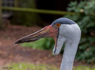 Walsrode, Weltvogelpark, Klunkerkranich