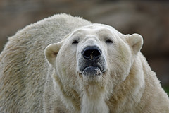 close up (dan487175) Tags: bear polarbear orso zoo closeup eyes blacknose nose mouth ears whitefur furry lovley beautiful animal mammal giant nikon tamron500mm 500mm fluffy uk wiskers summer 2018 doncaster enclosure dayout daytrip eyelashes white park wildlifepark lake macro new focused der bär grumpy