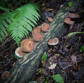 Autumn Fruits - Bracket Fungi