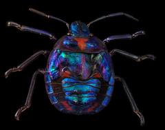 Scutelleridae - Jewel Bug (The Bug Photographer) Tags: scutelleridae pentatomoidea jewelbug metallicshieldbug macro macrophotography macrophoto insect nikon d7200 focusstacking focus helicon nature animal shield backed bugs