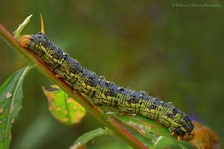 White Lined Sphinx Moth Caterpillar