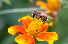 河口湖 / Fuji kawaguchiko / 西湖いやしの里根場 (Chester photography .) Tags: bug flower bee japanese asia japan trip travel tokyo 日本 旅行 nice great