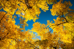 Fall Colour 2018 (Bluesky251) Tags: alberta art artist beautiful blue branch bright calgary canada clear cloud cloudline color colorful daylight daytime fall falling forest green leaves left light natural nature outdoor outside peaceful plant season sky skyline smooth trees warm weather wood yellow photography