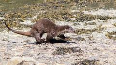 Loutre d'Europe - Lutra lutra - European otter (TESS4756) Tags: 2018 arche carnivore faune faunedenorvège loutredeurope mammifères mustelidae norvège scandinavie thérèseb