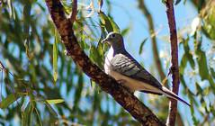 pigeons doves-10 (Captain Hadoc) Tags: bird birds australia wild wildlife farm pigeonsdoves pigeons