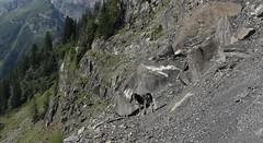Nasco (bulbocode909) Tags: valais suisse mex chiens montagnes nature arbres forêts rochers vert