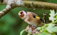 """Rain, Rain, Go Away...."" Goldfinch (Carduelis carduelis) - Taken at Summer Leys Nature Reserve, Nr Wollaston, Northants. UK. (Ian J Hicks) Tags:"