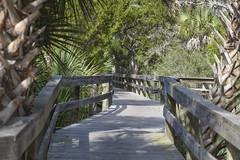SGI Boardwalk (ckorfanty) Tags: nature landscape st george island plantation boardwalk palm tree trees green brown