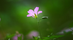 Herb Robert (Dhina A) Tags: sony a7rii ilce7rm2 a7r2 a7r fe 55mm f18 za 18 carl zeiss sonnar t sel55f18z