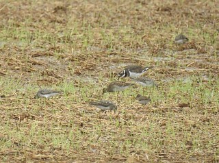 White-rumped (rare), Pectoral, and least Sandpipers (with killdeer)
