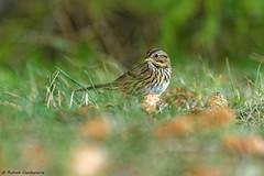 Le Bruant de Lincoln (Romain Claudepierre) Tags: nikon d7200 sigma 120300 f28 os bird bruant bic parc national québec canada wildlife