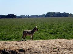 Coyote (timber1212) Tags: coyote cosumnesriverpreserve sacramento california farmland