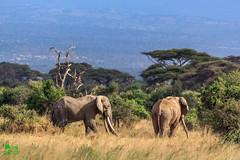 20180805IMG_7191-2.jpg (jmcenern) Tags: africa elephant amboselinationalpark kenya