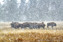 Early Snow (Gary Grossman) Tags: snow bison americanbison yellowstone snowshower autumn