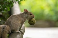 Squirrelly -7839 (MVMoore59) Tags: longwood longwoodgardens summer2018 latesummer squirrel food