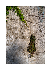 Plant Life on an Old Wall (Mikec77) Tags: wall plants