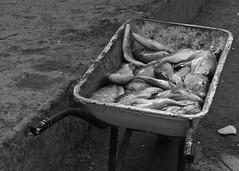 Fish in wheelbarrow (alicejack2002) Tags: fish boavista capeverde leica bw