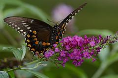 Spicebrush Swallowtail (JDA-Wildlife) Tags: butterfliesetc nikon nikond7100 tamronsp150600mmf563divc jdawildlife johnny butterfly butterflyswallowtailspicebrush spicebrushswallowtail gorgeous