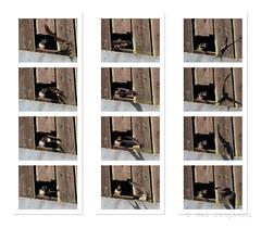 M2195428 E-M1ii 300mm iso800 f5.6 1_2500s tile-1 x1 r100 b10 tile-resize-3 x3 r33 b10 (Mel Stephens) Tags: 20180819 201808 2018 q3 1x1 square olympus mzuiko mft microfourthirds m43 300mm pro omd em1ii ii mirrorless animal animals nature wildlife fauna bird birds uk scotland aberdeenshire strathbeg action sequence swift swallow young procapture best gps