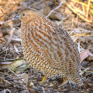 creature camouflage: the brown quail