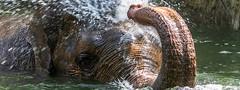 Asiatischer Elefant im Wasser / Asian elephant in the water (Art de Lux) Tags: hagenbeck tierpark zoo elefant elephant wasser water tier animal hamburg artdelux