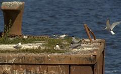 Nistplatz (Renata1109) Tags: vogel meer wasser seeschwalben unterwarnow rostock deutschland natur sommer sonne blau tier mecklenburgvorpommern jungvogel bird germany ostsee outdoor sea