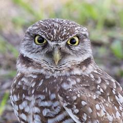 Burrowing Owl (jklewis4) Tags: athenecunicularia brianpiccolosportspark florida ftlauderdale bird birdofprey birds burrowingowl floridaburrowingowl nature owl raptor
