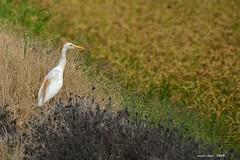 Esplugabous (nup.) (Enllasez - Enric LLaó) Tags: arroz arrozal arros deltadelebre deltadelebro delta 2018 aves aus bird birds ocells pájaros