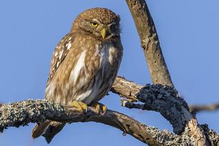 Glaucidium brasilianum - Cabure Chico - Ferruginous Pygmy-Owl
