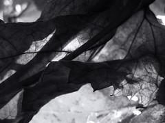 The magic of the dry leaf. (ALEKSANDR RYBAK) Tags: монохромный листок сухой солнечный свет луч тени макро крупный план прозрачность смятый monochrome leaflet dry solar shine ray shadows macro closeup transparency wrinkled