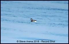 Record Shot - Juvenile Black Guillemot (Cepphus grylle) (Steve Arena) Tags: tystie bird birds birding massachusetts nikon d750 2018 photo blackguillemot barnstablecounty provincetown racepoint racepointpoint rpp