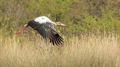 Cigüeña Americana  Ciconia maguari Maguari Stork (Jorge Schlemmer) Tags: cigüeñaamericana ciconiamaguari maguaristork vera santafe argentina birdwatcher