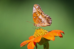 varigated frit 1 ( explored ) (G_Anderson) Tags: butterfly fritillary urban garden wildflowers