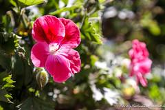 Carmel, CA (adventurousness) Tags: ca california carmel highway 1 macro flowers road trip pacific coast highway1 pacificcoasthighway pacificcoast roadtrip carmelbythesea unitedstates us