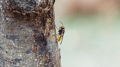an European Hornet on a trunc (please zoom in) (Franck Zumella) Tags: trunc hornet european guepe frelon bee abeille insecte insect fly wasp nature macro zoom