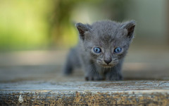 kittens II (08) (Vlado Ferenčić) Tags: closeup vladoferencic macro closeupmacro vladimirferencic catsdogs cats kitty kittens animals animalplanet dof bokeh zagorje hrvatska croatia nikond600 tamron9028