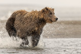 Coastal brown bear charging after some salmon it head