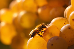 Happy golden days (FocusPocus Photography) Tags: biene bee trauben grapes tier animal insekt insect golden obst friut