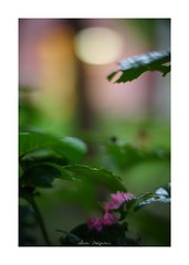 2018/8/11 - 16/24 photo by shin ikegami. - SONY ILCE‑7M2 / 七工匠  7artisans 50mm f1.1 (shin ikegami) Tags: マクロ macro 百日紅 サルスベリ flower 花 井の頭公園 吉祥寺 summer 夏 asia sony ilce7m2 sonyilce7m2 a7ii 50mm 七工匠 7artisans 7artisans50mmf11 tokyo photo photographer 単焦点 iso800 ndfilter light shadow 自然 nature 玉ボケ bokeh depthoffield naturephotography art photography japan earth