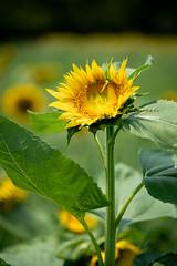 花 (fumi*23) Tags: ilce7rm3 sony 85mm fe85mmf18 sel85f18 plant flower sunflower 宮崎 西都原 西都 a7r3 emount bokeh dof depthoffield