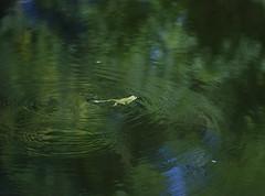 *** (Valentyn Kolesnyk (ValeKo)) Tags: pentax color nature k3 ko120m pond frog 120mm 18
