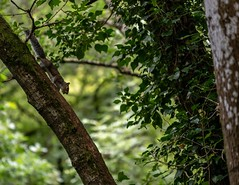Little Squirrel and His Nut (Glenn Cartmill) Tags: a7iii sony glenncartmill northernireland nut trees forest wood outdoor clareglen squirrel