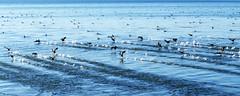 flap flap flap flap flap …. (Le.Patou) Tags: france camargue bouchesdurhône etangdevaccarès étang delta rhône eau canard envol fz1000 nature oiseau pond water duck flight bird bleu blue squad squadron