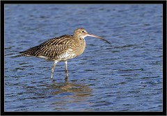 CURLEW (PHOTOGRAPHY STARTS WITH P.H.) Tags: south efford marsh devon curlew nikon d500 500mm afs vr teleconverter