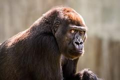 The Look 3-0 F LR 8-5-18 J113 (sunspotimages) Tags: animal animals wildlife nature nationalzoo zoo zoosofnorthamerica zoos fonz fonz2018 gorilla gorillas