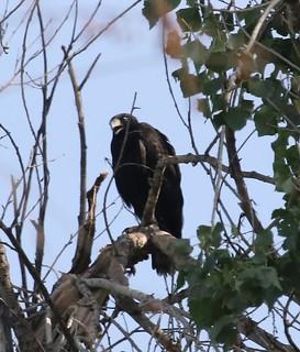 Zone-tailed Hawk (Buteo albonotatus) 07-31-2018 Patagonia Lake SP--Birding Trail, Santa Cruz Co. AZ 3
