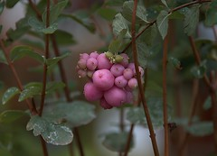 Pretty Pink Things (Scott 97006) Tags: pink plant leaves fruit buds pinky