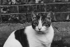 Kitty (katyearley) Tags: kitty brick wall eyes black white grain ears fur spots tabby canon rebel t6