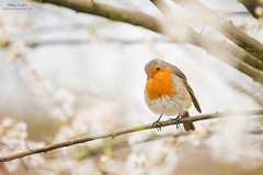 European Robin (Aditya.Sridhar) Tags: european robin bird manchester uk united kingdom birds reddish vale country park nature reserve wildlife nikon d850 300mm pf 14x teleconverter telephoto artistic bokeh cherry blossoms blossom perched perch beautiful public
